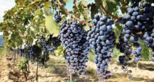 Región de Murcia exportará uvas de mesa a Vietnam el próximo verano